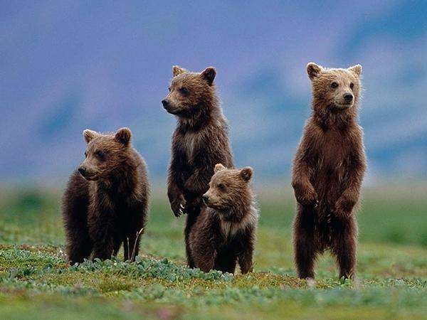 Four_bears